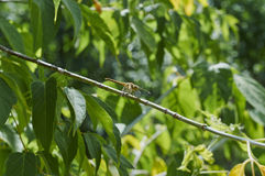 Dragonfly. Sitting on tree branch Royalty Free Stock Images