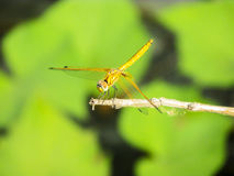 Dragonfly sitting on a twig having sunbath. In the midday Sun Stock Photo