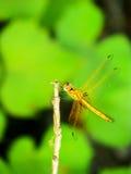 Dragonfly sitting on a twig having sunbath Royalty Free Stock Photos