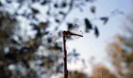 Dragonfly. Sitting on a twig vines Royalty Free Stock Photo