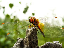 Dragonfly. Sitting on the wood Stock Photography