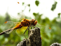 Dragonfly. Sitting on the wood Royalty Free Stock Image