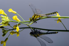 Dragonfly sitting on a yellow flower, mirroring on the ground Stock Photos