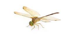 dragonfly skrzydła Zdjęcie Stock