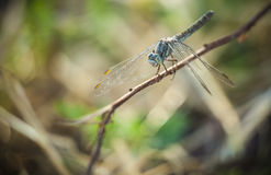 Dragonfly. A small dragonfly on the branch Royalty Free Stock Images