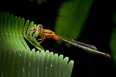 Dragonfly. Small Dragonfly on leaf in garden Stock Images
