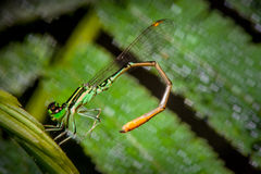 Dragonfly. Small Dragonfly on leaf in garden Stock Photos