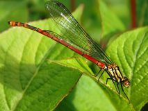 Dragonfly. Small red insect dragonfly on the green leaves Royalty Free Stock Images