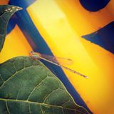 The dragonfly. The sneaky insect is taking rest on a leaf royalty free stock images
