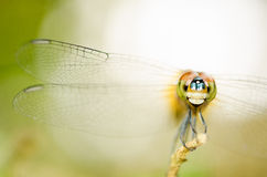 Dragonfly. royalty free stock image