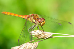 Dragonfly. A dragonfly sometimes very close Stock Images