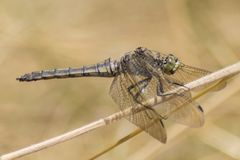 A dragonfly on a grass stalk royalty free stock photo