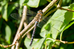 Dragonfly. Southern hawker.Dragonfly on a branch Royalty Free Stock Photography