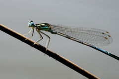 Dragonfly on spear. Dragonfly holding himself parallel on the spear Royalty Free Stock Images