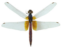 Dragonfly specimen Stock Photo