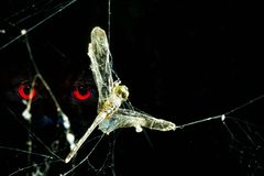 Dragonfly in spider web. Dragonfly caught in spider web with red eye staring, end of the freedom Stock Image