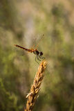 Dragonfly. On spikelet, photographed in nature Stock Photo