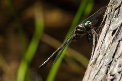 Dragonfly Spiketail наконечника стоковые фото