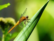 Dragonfly spread the wings. royalty free stock image