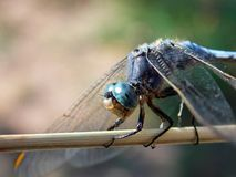 Dragonfly. With spread wings on a plant Royalty Free Stock Images