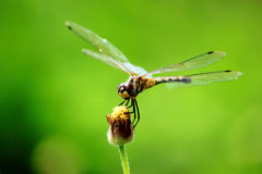 Dragonfly Spreads In Front Of Natural Background Royalty Free Stock Photos