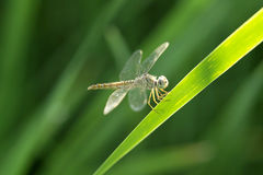 Dragonfly spreads wings Royalty Free Stock Photo