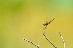 Dragonfly spreads wings Royalty Free Stock Images