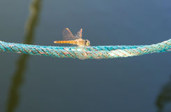 Dragonfly spreads wings Stock Photos