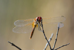 The dragonfly on sprig Royalty Free Stock Image