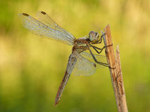 Dragonfly spring Stock Image