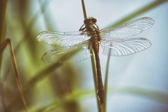 Dragonfly in spring in May on the stem of a plant above the river close-up.  royalty free stock photos