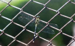 Dragonfly on square wire fence royalty free stock photo