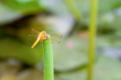 Dragonfly on stalk Royalty Free Stock Photo