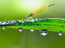Dragonfly on a stalk covered with dew. In morning Stock Photos