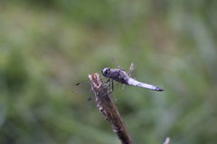 Dragonfly on a stalk of dry grass in the garden Stock Photography