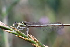Dragonfly on a stalk of grass Stock Photo