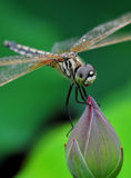 Dragonfly Stand In Bud Stock Photo