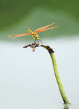 Dragonfly stand in lotus scape Royalty Free Stock Images