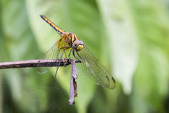 Dragonfly stand on a stick. In garden Stock Images