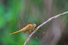 Dragonfly stand by withered grass Royalty Free Stock Images