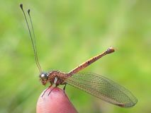 A Dragonfly standing on finger royalty free stock images