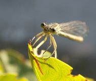 Dragonfly. Standing on a green leaf in the sun Royalty Free Stock Photos