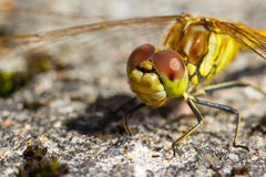 Dragonfly standing on rock. A close-up of a dragonfly standing on a rock Royalty Free Stock Image