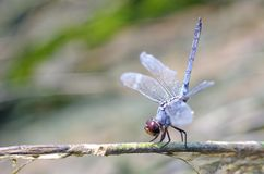 Dragonfly is standing on the tree branch Royalty Free Stock Photography
