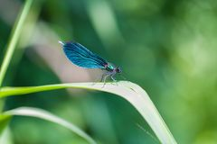Dragonfly stay on leaf royalty free stock photography