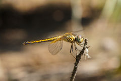Dragonfly stay on the stick. Royalty Free Stock Images