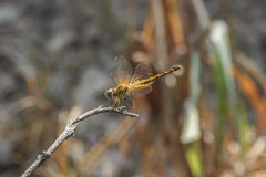 Dragonfly stay on the stick. Dragonfly stay on the small stick Royalty Free Stock Image