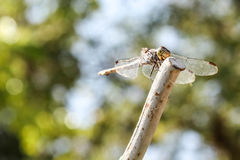 Dragonfly stay still Stock Images