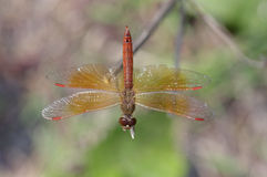 Dragonfly dorsal view Royalty Free Stock Photos