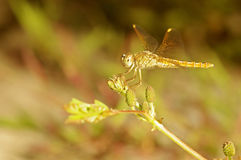 Dragonfly and flower Stock Images